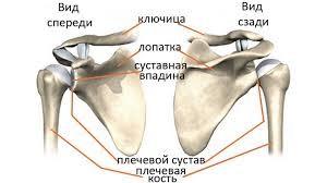 Плечевой пояс
